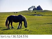 Ein Pferd auf einer Fenne mit der Kirchwarft im Hintergrund, Hallig... Стоковое фото, фотограф Zoonar.com/Stefan Ziese / age Fotostock / Фотобанк Лори
