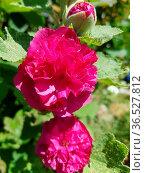 Stockrose, Althaea, rosea, Celebrities Purple, Heilpflanze. Стоковое фото, фотограф Zoonar.com/Manfred Ruckszio / easy Fotostock / Фотобанк Лори