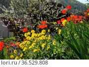 Garten , Frühling, frühjahr, blumen, blume, blüte, blüten, tulpe,... Стоковое фото, фотограф Zoonar.com/Volker Rauch / easy Fotostock / Фотобанк Лори