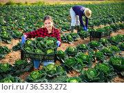 Young female farmer showing harvest of savoy cabbage on field. Стоковое фото, фотограф Яков Филимонов / Фотобанк Лори