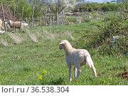 Kleines Lamm sucht nach seinem Mutterschaf. Стоковое фото, фотограф Zoonar.com/Eder Christa / easy Fotostock / Фотобанк Лори