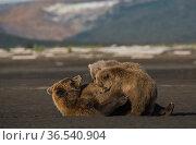 Coastal Brown Bear (Ursus arctos) mother nursing cubs on the low tidal zone. Katmai National Park, Alaska, USA. Hallo Bay. Стоковое фото, фотограф Todd Mintz / Nature Picture Library / Фотобанк Лори