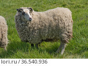 Shetland sheep wether (neutered male) with full fleece on grass in spring before shearing, Berkshire, May. Стоковое фото, фотограф Nigel Cattlin / Nature Picture Library / Фотобанк Лори
