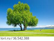 Grosser einzelner Silber-Ahorn Baum und Liegewiesen am Ufer des Bodensees... Стоковое фото, фотограф Patrick Frischknecht / age Fotostock / Фотобанк Лори