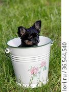 Chihuahua Welpe im Eimer. Стоковое фото, фотограф Zoonar.com/Martina Berg / easy Fotostock / Фотобанк Лори