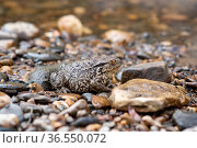 Common gray toad camouflaged among the pebbles on the rocky river bank. Стоковое фото, фотограф Евгений Харитонов / Фотобанк Лори
