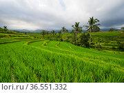 Jatiluwih rice terraces on Bali (2018 год). Стоковое фото, фотограф Юлия Белоусова / Фотобанк Лори