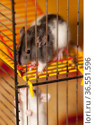 Rats in a cage close up. Стоковое фото, фотограф Argument / Фотобанк Лори
