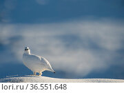 Ptarmigan (Lagopus mutus) male in winter plumage on snow covered rock, Cairngorms National Park, Scotland, UK, February. Стоковое фото, фотограф SCOTLAND: The Big Picture / Nature Picture Library / Фотобанк Лори