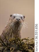Eurasian otter (Lutra lutra) portrait, Scotland, UK, April. Стоковое фото, фотограф SCOTLAND: The Big Picture / Nature Picture Library / Фотобанк Лори