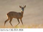 Roe deer (Capreolus capreolus) buck, Burgundy, France, August. Стоковое фото, фотограф Cyril Ruoso / Nature Picture Library / Фотобанк Лори