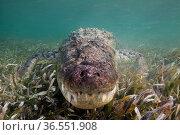 American crocodile (Crocodylus acutus)over seagrass bed, head close to camera, Banco Chinchorro Biosphere Reserve, Caribbean region, Mexico, May. Стоковое фото, фотограф Claudio  Contreras / Nature Picture Library / Фотобанк Лори