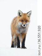 RF - Red fox (Vulpes vulpes). Vauldalen, Norway. (This image may be licensed either as rights managed or royalty free.) Стоковое фото, фотограф Erlend Haarberg / Nature Picture Library / Фотобанк Лори