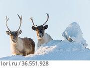 Wild Reindeer (Rangifer tarandus) Forollhogna National Park Norway, February. Стоковое фото, фотограф Erlend Haarberg / Nature Picture Library / Фотобанк Лори