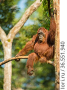 Female Bornean orangutan (Pongo pygmaeus) sitting in a tree, Tanjung Puting National Park, Borneo-Kalimantan, Indonesia. Стоковое фото, фотограф Inaki  Relanzon / Nature Picture Library / Фотобанк Лори