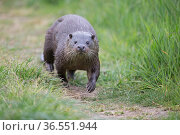 Common otter (Lutra lutra) Norfolk UK May. Стоковое фото, фотограф Robin Chittenden / Nature Picture Library / Фотобанк Лори