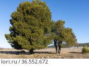 Centennial pine of Miralcampo (Pinus halepensis). Miralcampo's work... Стоковое фото, фотограф Antonio Real / age Fotostock / Фотобанк Лори
