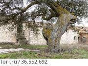 Centennial holm oaks (Quercus ilex). Los Pozuelos. Almansa. Albacete. Стоковое фото, фотограф Antonio Real / age Fotostock / Фотобанк Лори