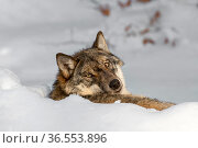 Grey wolf (Canis lupus) resting in the snow in winter and looking backwards, Bavarian Forest, Germany, captive, January. Стоковое фото, фотограф Philippe Clement / Nature Picture Library / Фотобанк Лори