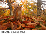 Red Squirrel (Sciurus vulgaris) in leaf litter in autumnal woodland, Highlands, Cairngorms National Park, Scotland, UK, October 2015. Стоковое фото, фотограф SCOTLAND: The Big Picture / Nature Picture Library / Фотобанк Лори