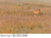 Roe deer (Capreolus capreolus) doe in rough grassland, Scotland, UK, July. Стоковое фото, фотограф SCOTLAND: The Big Picture / Nature Picture Library / Фотобанк Лори
