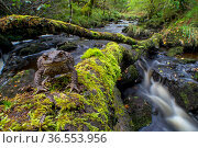 Common toad (Bufo bufo) standing on fallen tree over river, Atlantic rainforest, Glen Nant, Scotland, UK, September. Стоковое фото, фотограф SCOTLAND: The Big Picture / Nature Picture Library / Фотобанк Лори