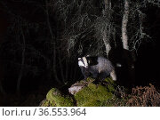 Eurasian badger (Meles meles) foraging in woodland, Cairngorms National Park, Scotland, UK, June. Стоковое фото, фотограф SCOTLAND: The Big Picture / Nature Picture Library / Фотобанк Лори