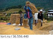 Traditionelle Reisernte, Männer dreschen Reis durch Schlagen gegen... Стоковое фото, фотограф Zoonar.com/Georg / age Fotostock / Фотобанк Лори