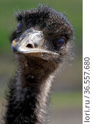Emu. Стоковое фото, фотограф Zoonar.com/Martina Berg / easy Fotostock / Фотобанк Лори