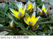 Tarda, Botanische, Tulpe, Tulipa ist eine Wildtulpe. Стоковое фото, фотограф Zoonar.com/Manfred Ruckszio / easy Fotostock / Фотобанк Лори