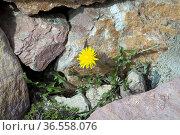 Dandelion, Seedling, young, lonely, alone, Taraxacum, officinale. Стоковое фото, фотограф Zoonar.com/Manfred Ruckszio / easy Fotostock / Фотобанк Лори