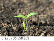 Tomaten, Lycopersicon, esculentum, Keimling. Стоковое фото, фотограф Zoonar.com/Manfred Ruckszio / easy Fotostock / Фотобанк Лори
