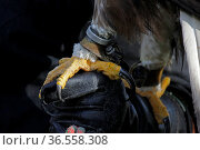 Steinadler-Fänge auf der Hand eines Falkners. Стоковое фото, фотограф Zoonar.com/Martina Berg / easy Fotostock / Фотобанк Лори
