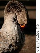 Schönes Geflügel. Стоковое фото, фотограф Zoonar.com/Martina Berg / easy Fotostock / Фотобанк Лори