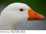 Porträt einer weißen Gans mit blauen Augen. Стоковое фото, фотограф Zoonar.com/Martina Berg / easy Fotostock / Фотобанк Лори