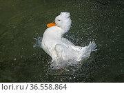 Badende Haubenente. Стоковое фото, фотограф Zoonar.com/Martina Berg / easy Fotostock / Фотобанк Лори