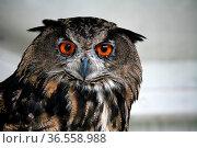 Bubo bubo. Стоковое фото, фотограф Zoonar.com/Martina Berg / easy Fotostock / Фотобанк Лори