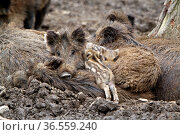 Wildschweinfamilie. Стоковое фото, фотограф Zoonar.com/Martina Berg / easy Fotostock / Фотобанк Лори