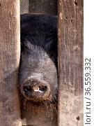 Schweineschnauze guckt durch einen Zaun. Стоковое фото, фотограф Zoonar.com/Martina Berg / easy Fotostock / Фотобанк Лори