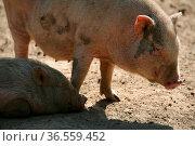 Glückliche Schweine in Frailandhaltung. Стоковое фото, фотограф Zoonar.com/Martina Berg / easy Fotostock / Фотобанк Лори