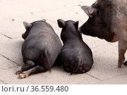 Liegende Schweine von hinten. Стоковое фото, фотограф Zoonar.com/Martina Berg / easy Fotostock / Фотобанк Лори