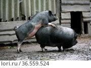 Hängebauchscchweine bei der Paarung. Стоковое фото, фотограф Zoonar.com/Martina Berg / easy Fotostock / Фотобанк Лори