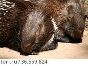 Gewöhnliches oder Eigentliches Stachelschwein (Hystrix cristata) Стоковое фото, фотограф Zoonar.com/Martina Berg / easy Fotostock / Фотобанк Лори
