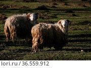 Skudden - diese Schafrasse steht auf der Roten Liste der vom Aussterben... Стоковое фото, фотограф Zoonar.com/Martina Berg / easy Fotostock / Фотобанк Лори