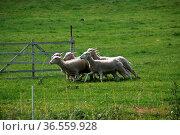 Schafe an einem Gatter. Стоковое фото, фотограф Zoonar.com/Martina Berg / easy Fotostock / Фотобанк Лори