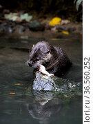 Fischotter beim Fischfressen. Стоковое фото, фотограф Zoonar.com/Martina Berg / easy Fotostock / Фотобанк Лори
