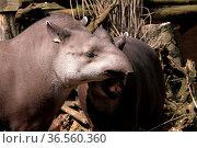 Flachlandtapire. Стоковое фото, фотограф Zoonar.com/Martina Berg / easy Fotostock / Фотобанк Лори