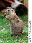 Präriehund. Стоковое фото, фотограф Zoonar.com/Martina Berg / easy Fotostock / Фотобанк Лори