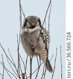 Northern hawk-owl (Surnia ulula) perched, Finland, January. Стоковое фото, фотограф Jussi  Murtosaari / Nature Picture Library / Фотобанк Лори