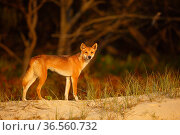 Dingo (Canis lupus dingo) on the beach at night, Fraser Island UNESCO World Heritage Site.  Queensland, Australia, November. Стоковое фото, фотограф Oriol  Alamany / Nature Picture Library / Фотобанк Лори